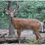 BREEDER BUCK FOR SALE - Y-JT06 - 1 YR SON OF JUMBO TEA