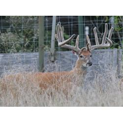 BREEDER BUCK FOR SALE - PERFECT PAYOFF - 2 YR  PAYOFF SON