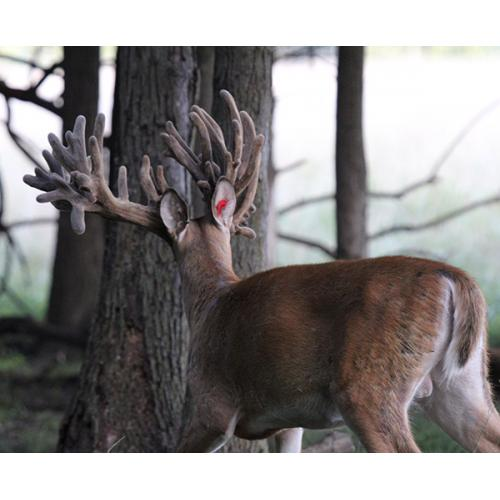 BREEDER BUCK FOR SALE - R-1482 - 2 YR SON OF PAYDAY