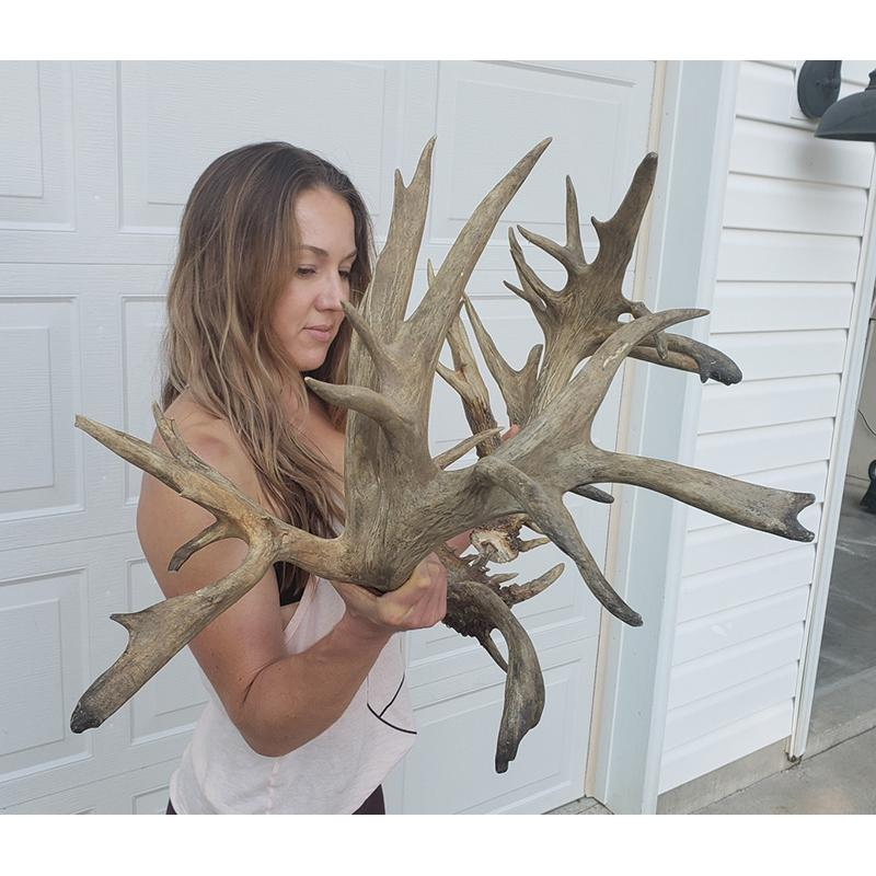 AUCTION-ANTLERS-SUDDEN IMPACT 2YRS - Gorgeous Set!!!
